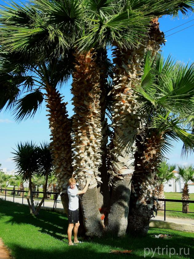 пальмы Протараса