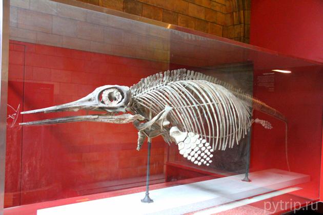 Ископаемые останки морской рептилии.