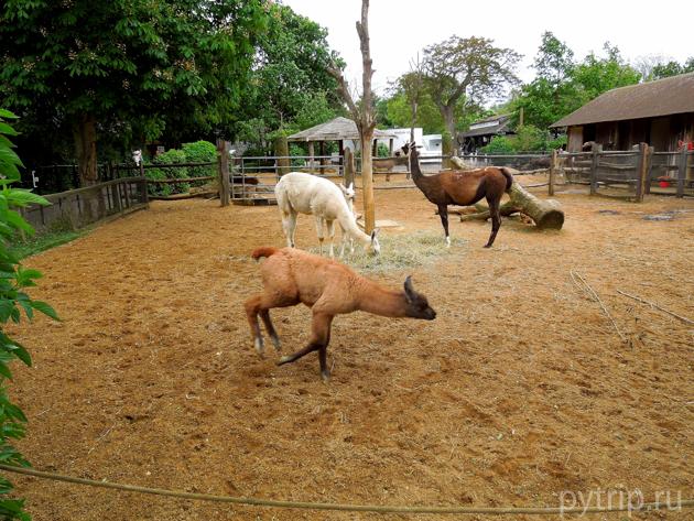 ламы лондонский зоопарк фото
