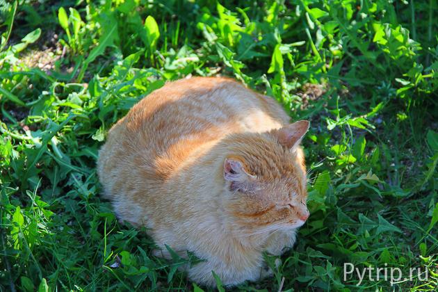 Рыжий кот в селе Михайловское